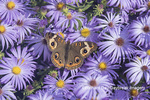 03411-01212 Common Buckeye (Junonia coenia) on Frikart's Aster (Aster frikartii) Marion Co. IL