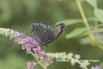 03418-01011 Red-spotted Purple (Limenitis arthemis) on Butterfly Bush (Buddleja davidii)  Marion Co. IL