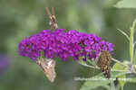 03467-00301 Hackberry Emperor (Asterocampa celtis) & Silver-spotted Skippers on Butterfly Bush (Buddleja davidii) Marion Co. IL