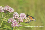03536-05909 Monarch (Danaus plexippus) on Swamp Milkweed (Asclepias incarnata) Marion Co. IL