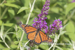 03536-05910 Monarch (Danaus plexippus) on Butterfly Bush (Buddleja davidii) Marion Co. IL