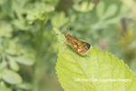 03716-00308 Peck's Skipper (Polites peckius) Marion Co. IL
