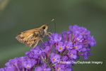 03716-00309 Peck's Skipper (Polites peckius) on Butterfly Bush (Buddleja davidii) Marion Co. IL