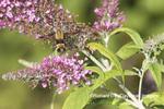 04005-00319 Snowberry Clearwing (Hemaris diffinis) on Butterfly Bush (Buddleja davidii) Marion Co. IL