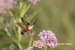 04014-00105 Hummingbird Clearwing (Hemaris thysbe) on Swamp Milkweed (Asclepias incarnata) Marion Co. IL