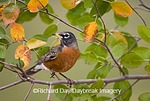 01382-048.03 American Robin (Turdus migratorius) in Serviceberry Bush (Amelanchier canadensis) in fall, Marion Co. IL