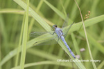 06593-00920 Eastern Pondhawk (Erythemis simplicicollis) male Marion Co. IL