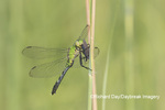 06593-01002 Eastern Pondhawk (Erythemis simplicicollis) female with prey Marion Co. IL