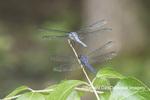 06629-00205 Great Blue Skimmer (Libellula vibrans) male & Slaty Skimmer (Libellula incesta) male Marion Co. IL