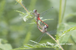 06652-00713 Blue-faced Meadowhawk (Sympetrum ambiguum) male & female copulating Marion Co. IL