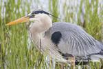 00684-05402 Great Blue Heron (Ardea herodias) Viera Wetlands Brevard County FL