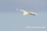 00688-02609 Great Egret (Ardea alba) in flight Viera Wetlands Brevard County FL