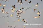00754-02315 Snow Geese (Chen caerulescens) in flight Marion Co. IL