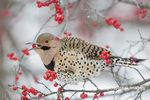 01193-01903 Northern Flicker (Colaptes auratus) male eating Winterberry (Ilex verticillata) in winter, Marion Co. IL