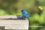 01536-02717 Indigo Bunting (Passerina cyanea) male at sunflower tray feeder.  Marion Co. IL