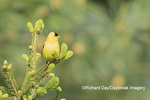 01640-16318 American Goldfinch (Spinus tristis) male in spruce tree.  Marion Co. IL