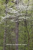 63808-03101 Dogwood Tree (Cornus florida) in bloom Marion Co. IL