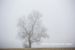 63808-03104 Bare tree in fog Marion Co. IL