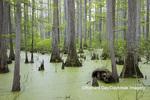 63895-14418 Bald Cypress trees (Taxodium distichum) Heron Pond Little Black Slough, Johnson Co. IL