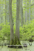 63895-14608 Bald Cypress trees (Taxodium distichum) Heron Pond Little Black Slough, Johnson Co. IL