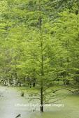 63895-14610 Bald Cypress trees (Taxodium distichum) Heron Pond Little Black Slough, Johnson Co. IL