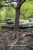 63895-14912 Red Cedar Tree (Juniperus virginiana) Garden of the Gods Recreation Area Shawnee National Forest Saline Co. IL