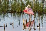 00707-01105 Roseate Spoonbill (Platalea ajaja) preening Viera Wetlands Brevard County FL