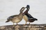 00715-09210 Wood Ducks (Aix sponsa) male & female mutual preening in wetland Marion Co. IL