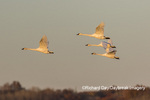 00758-02017 Trumpeter Swans (Cygnus buccinator) in flight Riverlands Migratory Bird Sanctuary St. Charles Co., MO