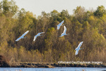 00758-02103 Trumpeter Swans (Cygnus buccinator) in flight Riverlands Migratory Bird Sanctuary St. Charles Co., MO