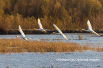 00758-02107 Trumpeter Swans (Cygnus buccinator) in flight Riverlands Migratory Bird Sanctuary St. Charles Co., MO