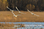 00758-02110 Trumpeter Swans (Cygnus buccinator) in flight Riverlands Migratory Bird Sanctuary St. Charles Co., MO