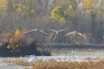 00758-02114 Trumpeter Swans (Cygnus buccinator) landing in wetland Riverlands Migratory Bird Sanctuary St. Charles Co., MO
