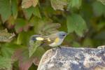 01508-00111 American Redstart (Setophaga ruticilla) female Marion Co. IL