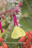 03091-00904 Cloudless Sulphur (Phoebis sennae) at Salvia 'Love & Wishes' Marion Co., IL