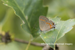 03208-00104 Red-banded Hairstreak (Calycopis cecrops) Franklin Co MO