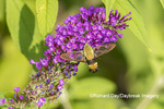 04005-00411 Snowberry Clearwing (Hemaris diffinis)  on Butterfly Bush (Buddleia davidii) Marion Co.  IL