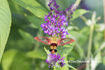 04014-00209 Hummingbird Clearwing (Hemaris thysbe) on Butterfly Bush (Buddleja davidii) Marion Co. IL