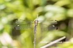 06617-00512 Spangled Skimmer (Libellula cyanea) female Glass Lizard Fen Ripley Co. MO