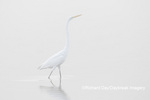 00688-02215 Great Egret (Ardea alba) in wetland in fog, Marion Co., IL