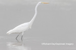 00688-02301 Great Egret (Ardea alba) in wetland in fog, Marion Co., IL