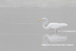 00688-02302 Great Egret (Ardea alba) in wetland in fog, Marion Co., IL