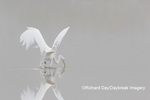 00688-02316 Great Egret (Ardea alba) fishing in wetland in fog, Marion Co., IL