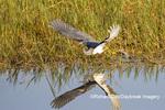 00697-01109 Tricolored Heron (Egretta tricolor) feeding/foot-dragging behavior Viera Wetlands Brevard County, FL