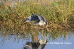 00697-01111 Tricolored Heron (Egretta tricolor) feeding/foot-dragging behavior Viera Wetlands Brevard County, FL