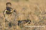 00842-05702 Greater Prairie-Chickens (Tympanuchus cupido) males fighting-territorial dispute on lek Prairie Ridge State Natural Area, Marion Co. IL