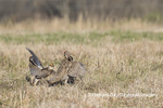 00842-06101 Greater Prairie-Chickens (Tympanuchus cupido) males fighting-territorial dispute on lek Prairie Ridge State Natural Area, Marion Co. IL