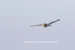 01113-02111 Short-eared Owl (Asio flammeus) in flight Prairie Ridge State Natural Area Marion Co. IL