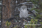01128-00113 Great Gray Owl (Strix nebulosa) in snowstorm, Yellowstone National Park, WY