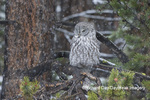 01128-00114 Great Gray Owl (Strix nebulosa) in snowstorm, Yellowstone National Park, WY